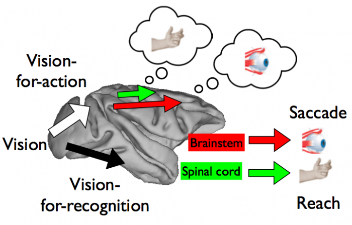 Visual information is processed to guide different movements by distinct yet overlapping circuits that connect sensation to action.
